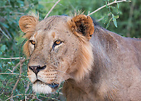 Samburu Lion Portrait1 Kenya 2015