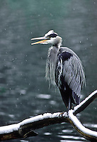35-B03-HGB-230    GREAT BLUE HERON (Ardea herodias), in snowstorm with open beak, Multnomah County, western Oregon, USA.