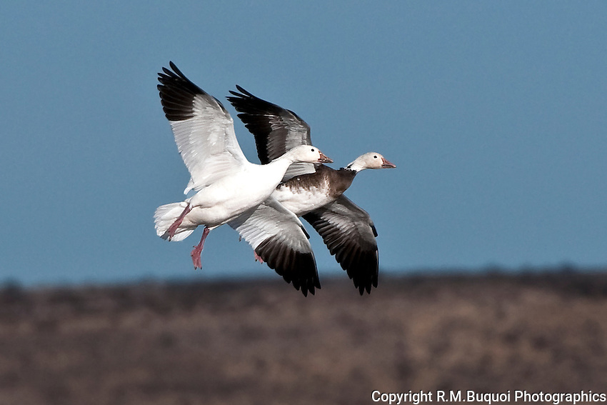 Snow Goose and Blue Goose in Flight at Bosque Del Apache NWR