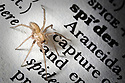 Juvenile house spider {Tegenaria sp.} on dictionary, UK