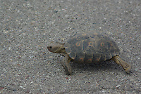 Wild wondering Desert Tortoise seen crossing a road in the outskirts of Tucson, Arizona.