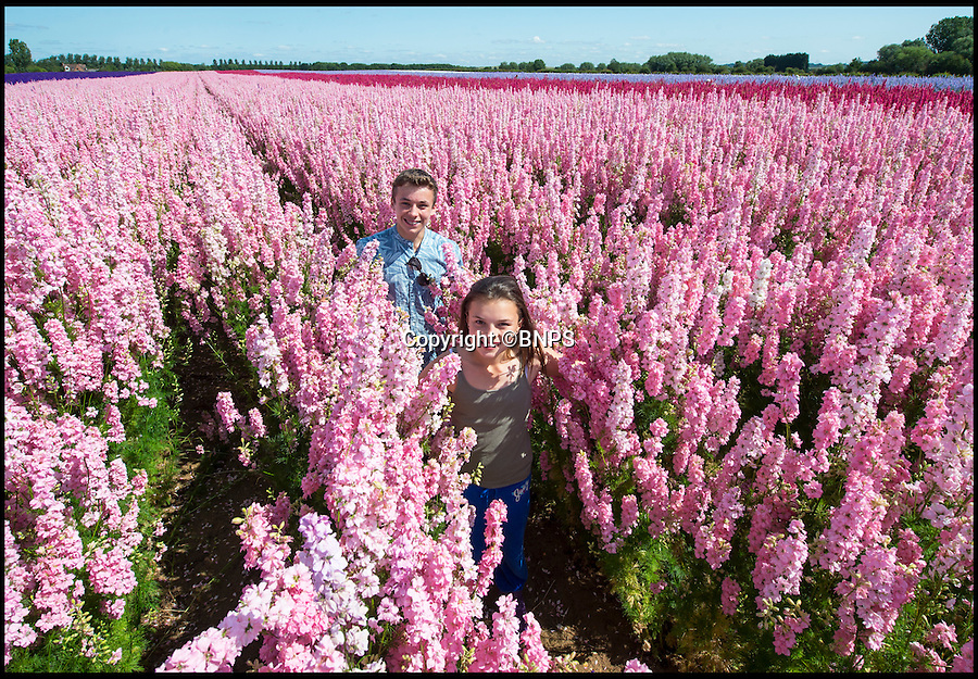 BNPS.co.uk (01202 558833)<br /> Pic: PhilYeomans/BNPS<br /> <br /> Emily Gittoes(11) and her brother Ollie(15) from Evesham visiting the amazingly colourful field of Delphinium's blooming at the Real Flower Confetti companies headquarters in Pershore, Worcestershire. <br /> <br /> The five different coloured blooms are meticulously hand picked to go into the companies unique natural confetti.