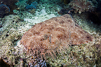 A Tasselled wobbegong, Eucrossorhinus dasypogon, lays amid the sand and rubble of a coral reef displaying its incredible camouflaged pattern. Batanta Island, Raja Ampat, Papua, Indonesia, Pacific Ocean