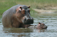 A Hippopottamus mother tend to her young in the Victoria Nile in Murcheson Falls National Park in northwestern Uganda. (Rick D'Elia)