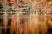 Cypress trees turning a rust red in the fall and reflecting off the water at Cove Lake Recreation area in the Ozark National Forrest in Arkansas.