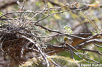 0703-1103  Verdin Building its Nest (Titmouse, Penduline Tit), Bag Nest (Hanging Nest or Dome Nest), Auriparus flaviceps  © David Kuhn/Dwight Kuhn Photography
