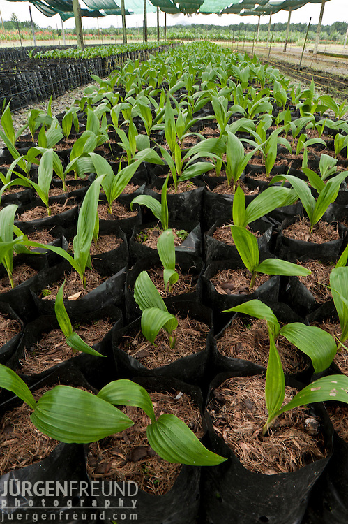 Palm (Elaeis quineesis Jacq) plant nursery. Seedlings are grown in soil free compost made from processed fruit bunch waste.