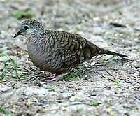Adult inca dove on ground