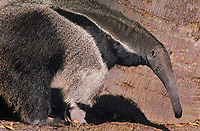 604003002 a caltive zoo animal giant anteater nyreacophaga tridactyla stands near a giant palm tree in its enclosure at a zoo - species is native to the southern half of the new world and is an endangered species