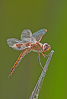 388550018 a wild male red saddleags dragonfly tramea onusta  perches on a cattail in a small ditch near san benito in lower rio grande valley texas united states