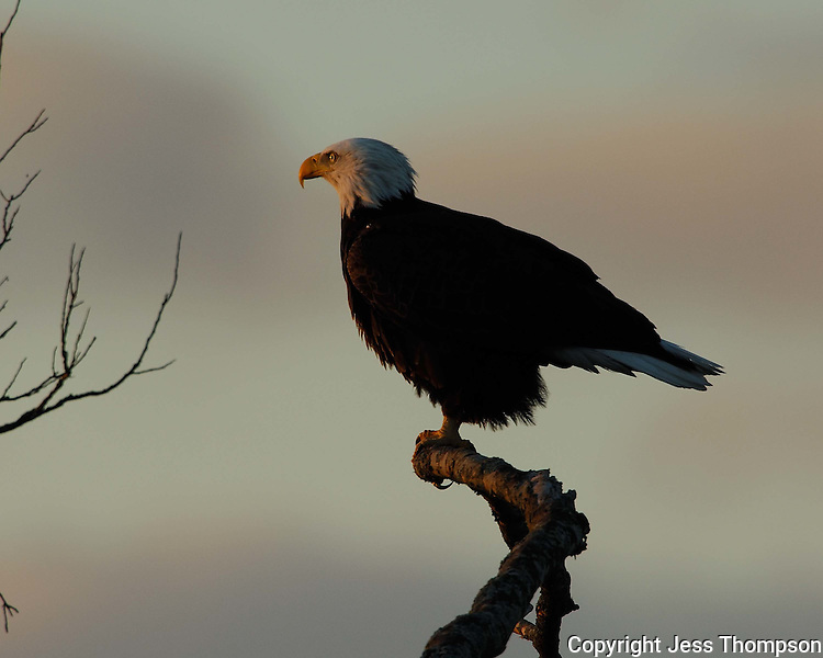 Bald Eagle from Llano, TX, at sunrise.