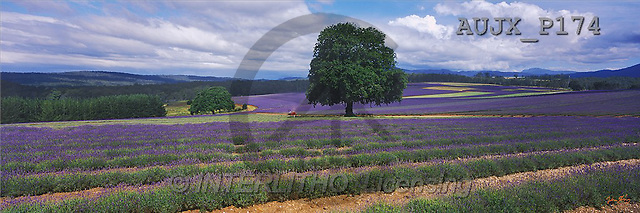 Dr. Xiong, LANDSCAPES, panoramic, photos, Lavender Fields, Nabowle, TAS, Australia(AUJXP174,#L#)