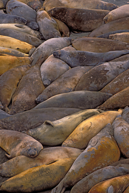 ANTARCTICA, SO.SHETLAND IS KING GEORGE IS., LION'S RUMP, ELEPHANT SEALS ON BEACH MOULTING