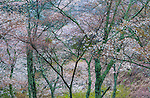 Cherry trees in bloom, Kyoto, Japan , prunus sp.