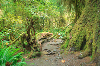The Hoh Rain Forest  lies on the west side of Olympic National Park, the Hoh Rain Forest is accessed by the Upper Hoh Road, off of Highway 101<br /> <br /> Throughout the winter season, rain falls frequently in the Hoh Rain Forest, contributing to the yearly total of 140 to 170 inches (or 12 to 14 feet!) of precipitation each year. The result is a lush, green canopy of both coniferous and deciduous species. Mosses and ferns that blanket the surfaces add another dimension to the enchantment of the rainforest.