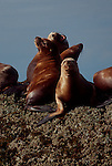 Alaska. Endangered Steller's sea lions vie for haul-out turf in Frederick Sound, Inside Passage, Southeast Alaska, Eumetopias jubatus