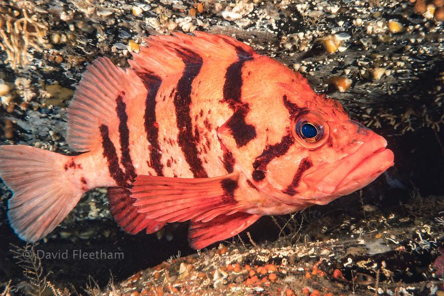 A tiger rockfish, Sebastes nigrocinctus, British Columbia, Canada.