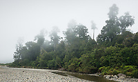 Native forest at McDonald's Creek in mist, Westland Tai Poutini National Park, UNESCO World Heritage Area, South Westland, New Zealand, NZ