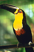 Amazon, Brazil. Black-beaked toucan with yellow breast.