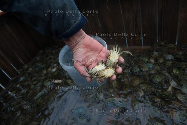 """Venezia - Pesca delle mosche. Una volta tirate su le reti i granchi """"boni"""" vengono messi nei vieri i attesa del cambio della muta."""
