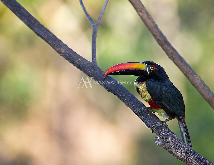 This is one of a few different toucan species seen during my Costa Rica trips.