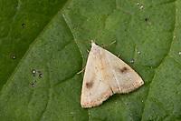 Seideneulchen, Seiden-Eulchen, Rivula sericealis, Straw Dot,  La Soyeuse. Eulenfalter, Noctuidae, noctuid moths, noctuid moth