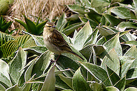 Campbell Island Pipit