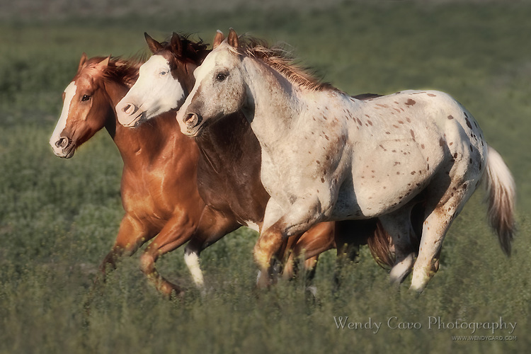 Three horses, keeping pace as they gallop across a pasture, eastern Oregon.