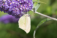 Zitronenfalter, Zitronen-Falter, Blütenbesuch auf Schmetterlingsflieder, Buddleja, Gonepteryx rhamni, brimstone, brimstone butterfly, Le Citron