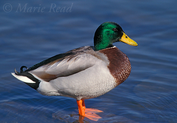 Mallard (Anas platyrhynchos) male in breeding plumage, Ithaca, New York, USA<br /> Slide # B24-362