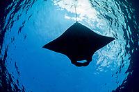 reef manta ray, Manta alfredi, feeding on plankton in surface slick, off Mahaiula, Kona Coast, Big Island, Hawaii, USA, Pacific Ocean