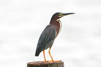 Green heron adult on post