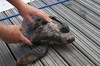a rescued loggerhead turtle, Caretta caretta, Azores Island, Portugal, North Atlantic