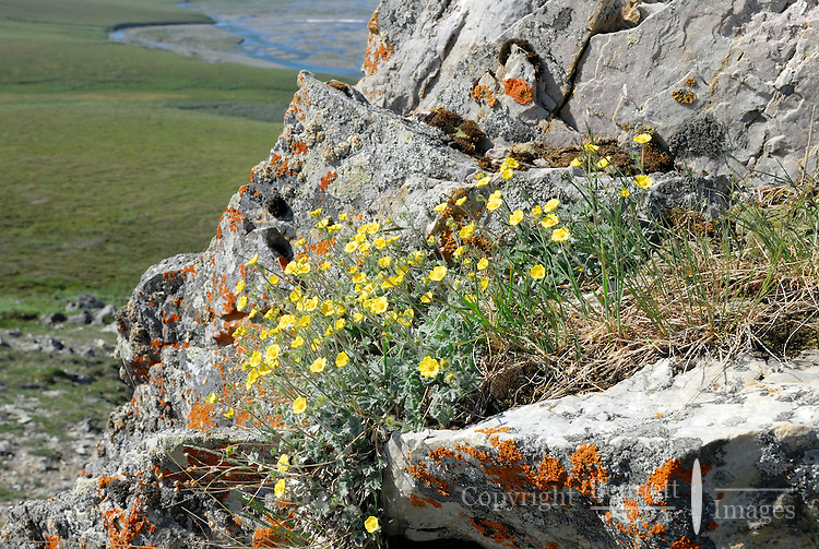 Yellow Flowers, and orange lichen decorate a rocky hillside overlooking the Kongakut River, in Alaska's Arctic National Wildlife Refuge.