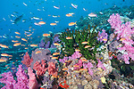 Rainbow Reef, Somosomo Strait, Fiji; a Spotted Unicornfish and an aggregation of Scalefin Anthias and Chromis fish swimming over the coral reef covered in green Black Sun Coral and pink and purple soft corals