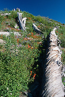 Wildflowers and Blowdown Logs, Mt. St. Helens National Volcanic Monument, Washington, US
