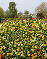 With the UK in 'lockdown' during the Coronavirus pandemic, a small ray of sunshine ahead of Easter weekend with this beautiful colourful display of Tulips on the embankment by the Great River Ouse in Bedford, UK on April 8th 2020<br /> <br /> Photo by Keith Mayhew