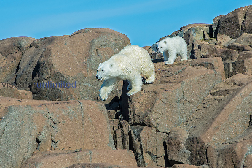 Polar Bear female and cub (Ursus maritimus), Spitsbergen, Svalbard, Norway