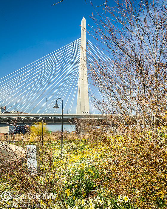 The Leonard P. Zakim Bunker Hill Bridge crowns a daffodil carpet in Paul Revere Park and the Charles River in Boston, MA