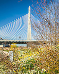 The Leonard P. Zakim Bunker Hill Bridge crowns a daffodil carpet in Paul Revere Park and the Charles River in Boston, MA