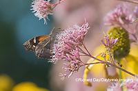 03301-00613 American Snout (Libytheana carinenta) on Joe Pye Weed (Eutrochium purpureum) Marion Co. IL