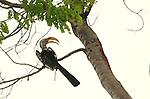 Southern yellow-billed hornbill, (Tockus leucomelas), Hwange National Park, Zimbabwe