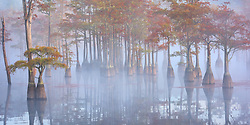 A grove of pond cypress emerge from the morning fog just after sunrise, dressed in fall color.