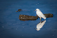 A Snowy egret and its reflection taking a break from the near constant search for food.