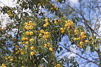 Wilde Birne, Frucht, Früchte, Birnen, Wildbirne, Wilder Birnbaum, Holzbirne, Holz-Birne, Pyrus pyraster, Wild Pear, fruit, Poirier sauvage