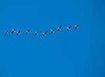 Europa, DEU, Deutschland, Nordrhein Westfalen, NRW, Rheinland, Niederrhein, Xanten, Naturschutzgebiet Xantener Altrhein, Bislicher Insel, Arktische Wildgaense, , Kategorien und Themen, Tiere, Tier, Wildtiere, Tierfoto, Tierfotos, Tierphoto, Tierphotos, Tierfotografie, Tierphotographie, Wildlife, Natur, Naturfoto, Naturfotos, Naturfotografie, Naturphoto, Naturphotographie......[Fuer die Nutzung gelten die jeweils gueltigen Allgemeinen Liefer-und Geschaeftsbedingungen. Nutzung nur gegen Verwendungsmeldung und Nachweis. Download der AGB unter http://www.image-box.com oder werden auf Anfrage zugesendet. Freigabe ist vorher erforderlich. Jede Nutzung des Fotos ist honorarpflichtig gemaess derzeit gueltiger MFM Liste - Kontakt, Uwe Schmid-Fotografie, Duisburg, Tel. (+49).2065.677997, archiv@image-box.com, www.image-box.com]