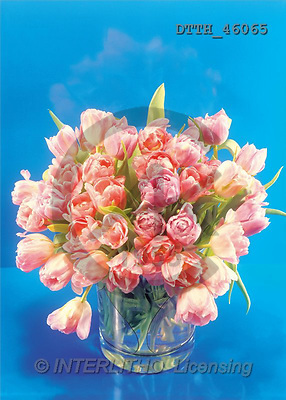 Helga, FLOWERS, portrait, macro, photos, pink tulips, DTTH, DTTH46065,#F# Blumen, flores, retrato