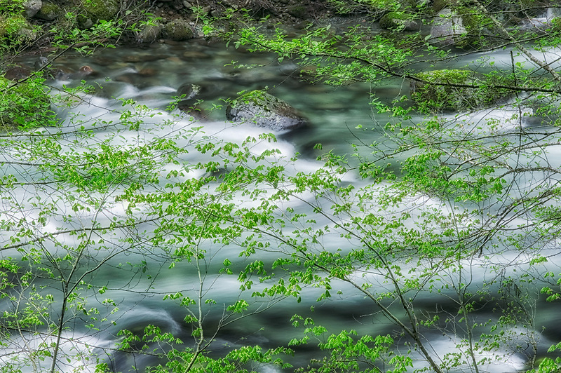 Little North Santiam Wild and Scenic River with early spring growth on Vine Maple trees. Willamette National Forest, Oregon