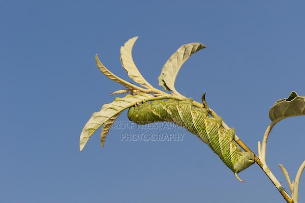 Carolina Sphinx (Manduca sexta), caterpillar on plant, Dinero, Lake Corpus Christi, South Texas, USA