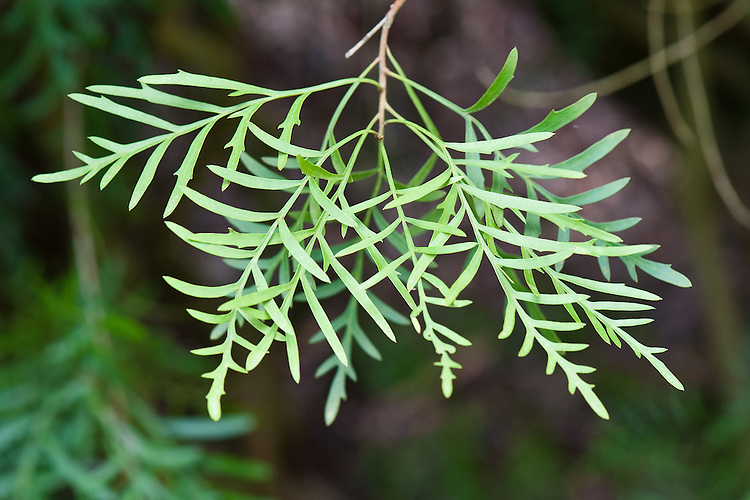 Lomatia silafolia, late March. Evergreen shrub from southeastern Australia.